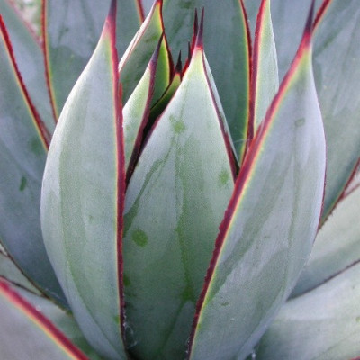 Agave ' Blue Glow '