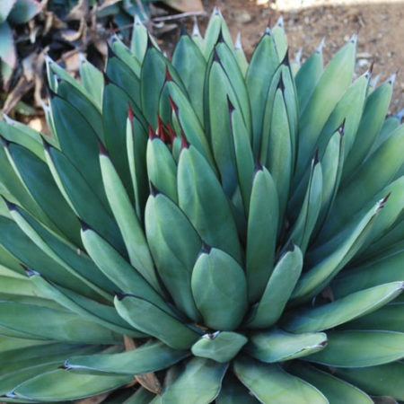 Agave ' Little Shark '